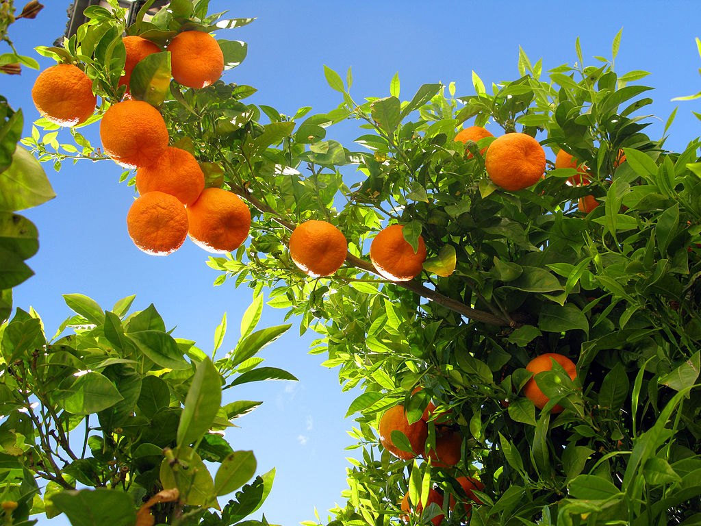 Gorbeiazpiko laranjak